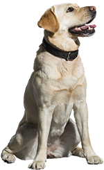 Dog - Labrador Retriever png