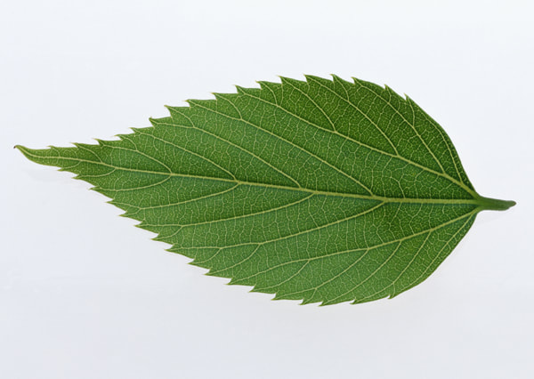 texture of a leaf 6