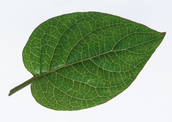 texture of a leaf 7