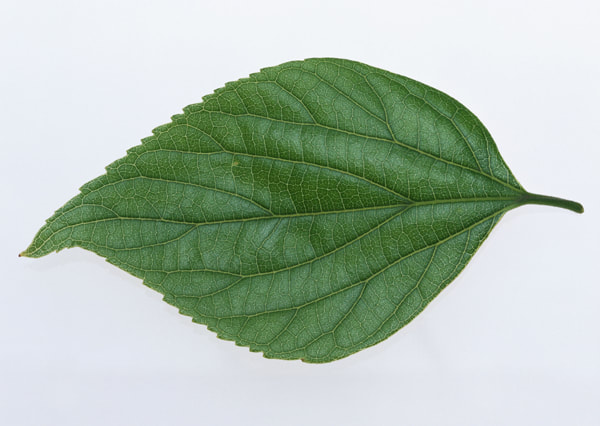 texture of a leaf 8
